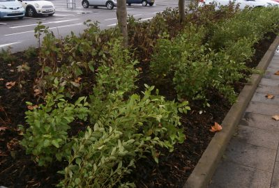 Shrubs by car park