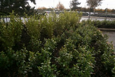 Business park shrubs